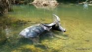 Wodne woły zamiast kopyt mają płetwy