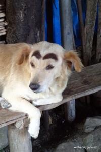 Brwi nie są namalowane , to nowa rasa pies tarasowy