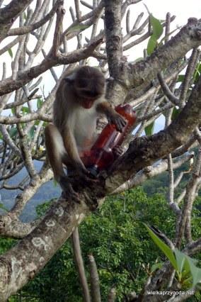 Wszędobylskie małpki tylko czekają na naszą nieuwagę