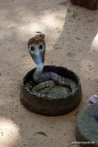 Węże tańczyły za 300 rupii