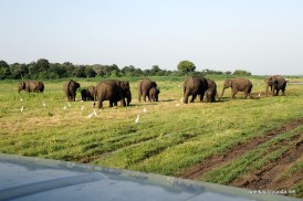 Srilanka - dzikie słonie w parku narodowym Kaudulla