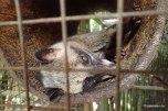 Luwak (cyweta) producent kawy Kopi Luwak